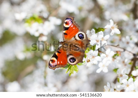 Colourful European Peacock butterfly (Aglais io), on a flowering branch of Prunus spinosa (blackthorn, or sloe)