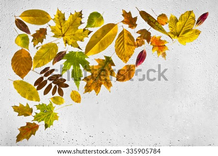 Colourful, highlighted, wet, autumn leaves with drops of water stuck  to a window on a gray background - stock photo