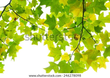 Colourful maple leaves on white background - stock photo