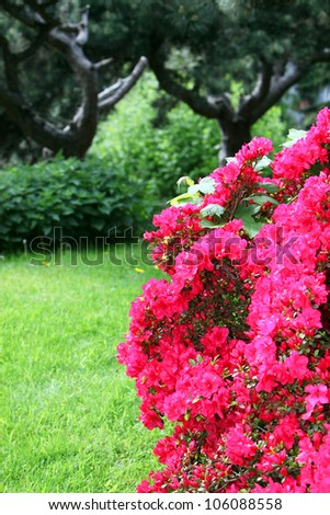 Colourful red azaleas flowering in a lush garden with copyspace - stock photo