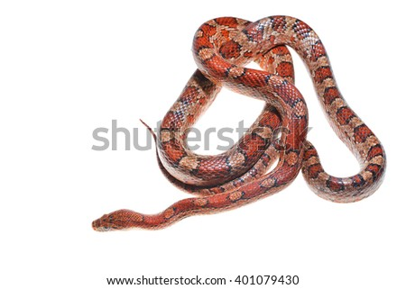 Colourful red exotic grass snake isolated over white - stock photo