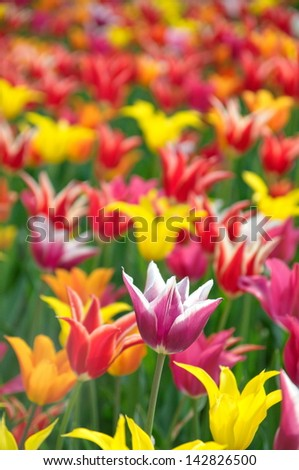 Colourful tulips - stock photo