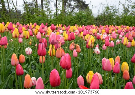 Colourful tulips in a field