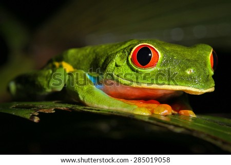 Colourful wild Red-eyed Green Tree Frog in rainforest of Costa Rica.