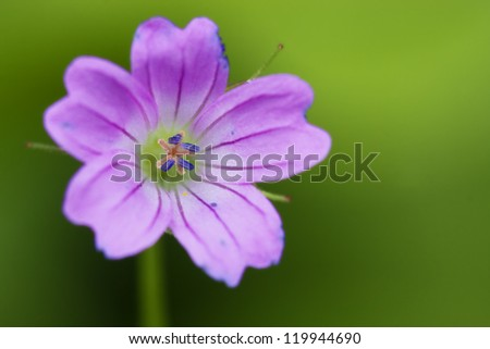 colse up of a pink geranium dissectum geraniacee in green backgroud - stock photo