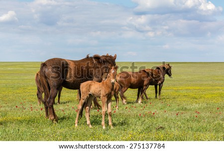 Colt and his mother mare shown the herd of horses - stock photo