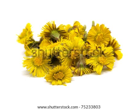 Colts Foot orTussilago farfara on a white background - stock photo