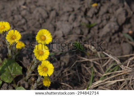 Coltsfoot flower closeup with excessive space