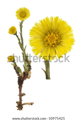 Coltsfoot medical- Tussilago farfara on white background. - stock photo