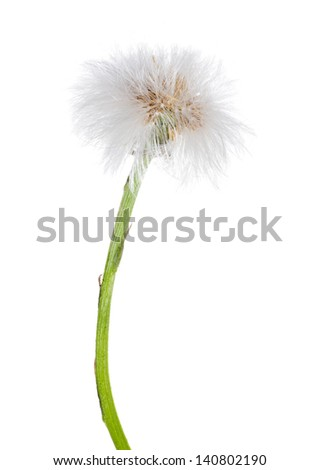 coltsfoot single plant isolated on white background