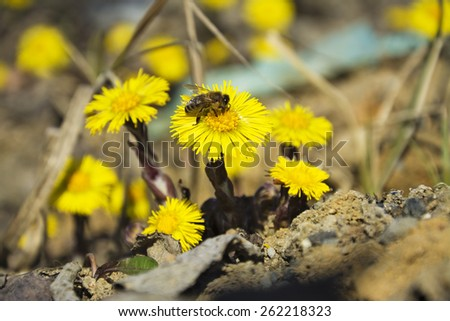 Coltsfoot, the first spring yellow flowers and bee.