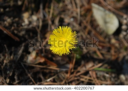 Coltsfoot (Tussilago farfara) blossom in the forest. Springtime.