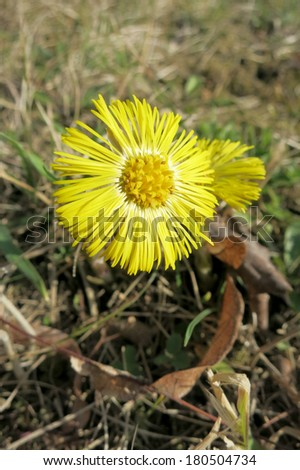 Coltsfoot (Tussilago farfara) in the grass.