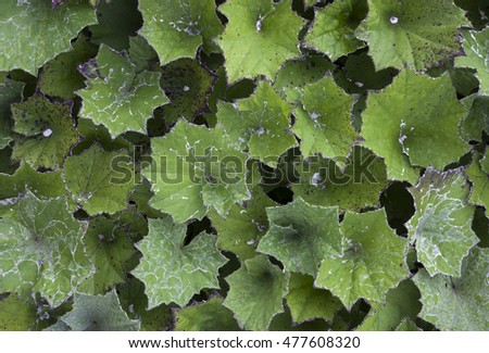 Coltsfoot (tussilago farfara) leaves from above. Photographed in scandinavia, europe