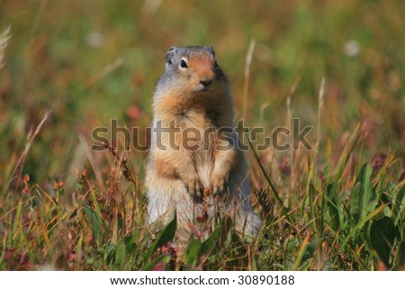 Columbian Ground Squirrel - Glacier National Park, Montana