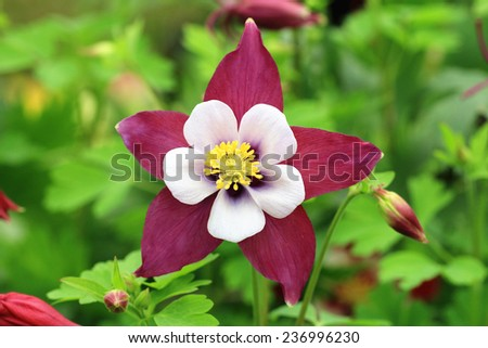 Columbine flower and buds,closeup of purple with white columbine flower in full bloom in garden   - stock photo