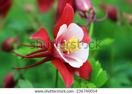 Columbine flower,closeup of red with white columbine flower in full bloom in garden - stock photo
