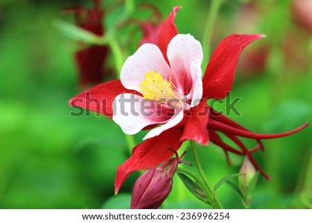 Columbine flower,closeup of red with white columbine flower in full bloom in garden
