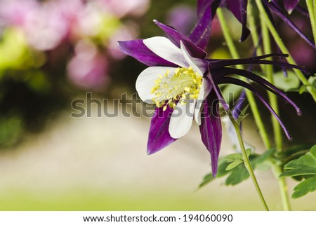 columbine flower in full bloom