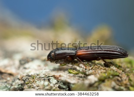 Colydium filiforme on wood - stock photo