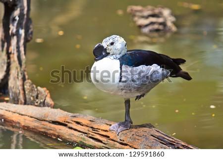 comb duck sarkidiornis melanotos - stock photo