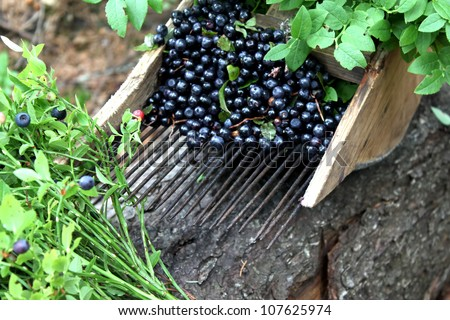 comb for picking blueberries, fresh blueberries and blueberry leaves