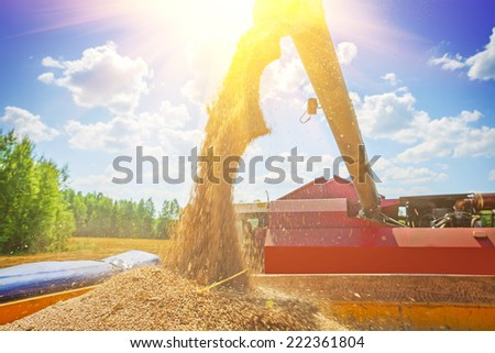 combine harvester pouring corns of wheat after harvesting - stock photo