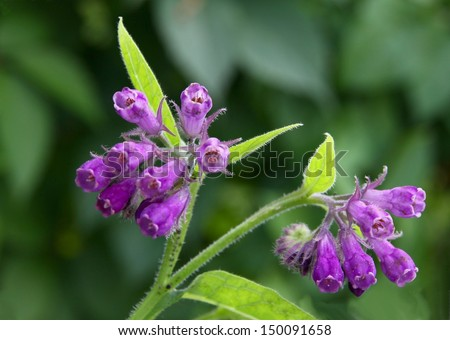 comfrey with lila flower