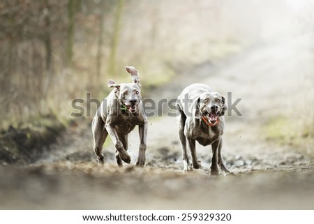 comic and fun weimaraner dog puppy running in spring nature