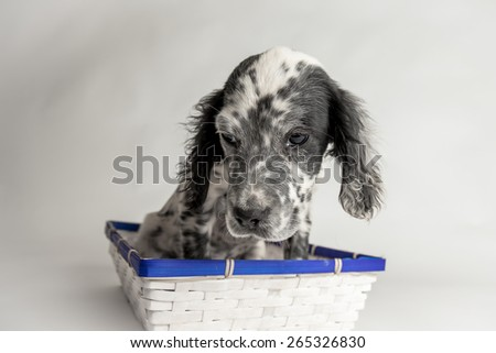 Comic portrait of puppy setter in a wood basket - stock photo