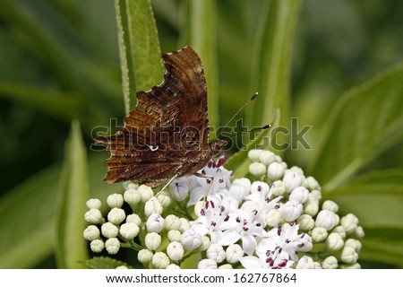 Comma butterfly (Nymphalis c-album, Polygonia c-album) on dwarf elder blossom in Italy, Europe - stock photo