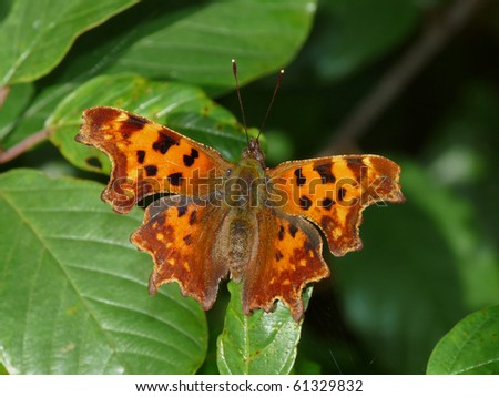 Comma Butterfly on a leaf (Polygonia c-album) - stock photo