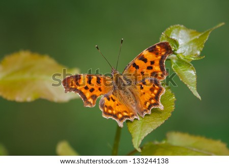 Comma Butterfly (Polygonia c-album) on green leaf - stock photo