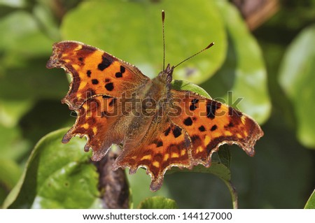 Comma Butterfly - Polygonia c-album on Ivy  - stock photo