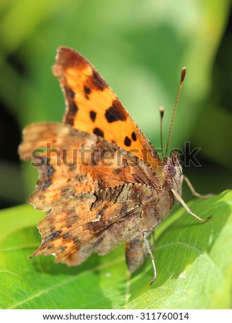 Comma Butterfly (Polygonia c-album) sitting on leaf. Macro - stock photo