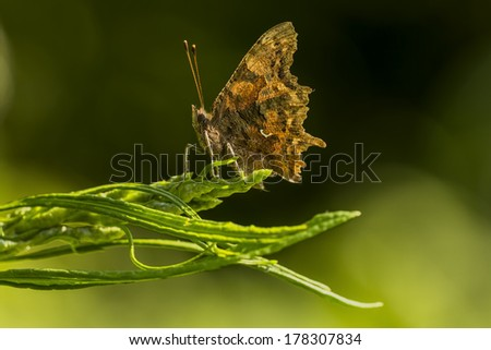 Comma butterfly resting in summer sun light - stock photo
