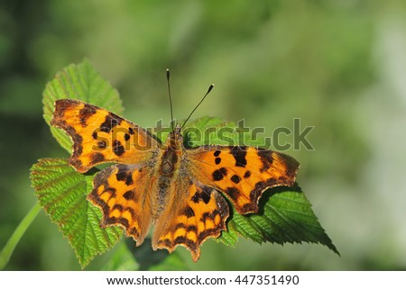 Comma butterfly resting on a leafy bush.