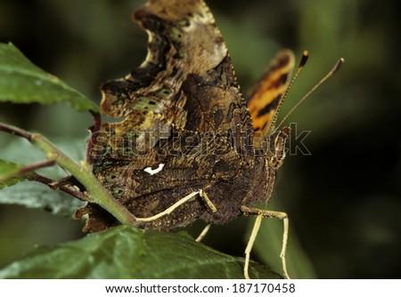 Comma Butterfly underside - Polygonia c-album - stock photo