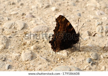 comma butterfly with closed wings - stock photo