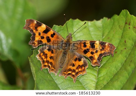 Comma - Polygonia c album - stock photo