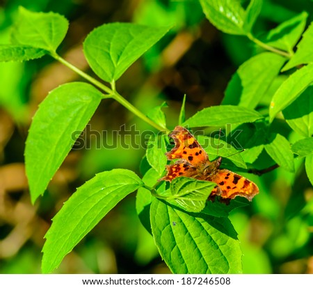 Comma (Polygonia c-album) butterfly on a bush in Berkshire, UK - stock photo