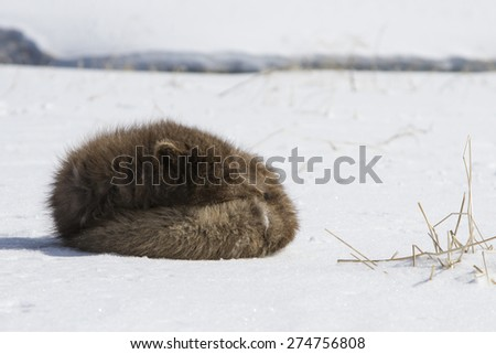 Commander's blue arctic fox that is sleeping in the snow on a sunny day
