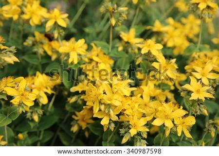 Common Agrimony Flower - Agrimonia eupatoria - stock photo