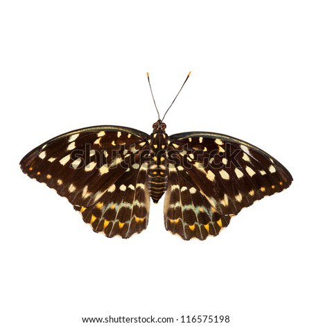 Common archduke butterfly isolated