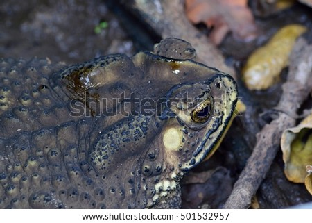 Common asian toad camouflage Itself Common asian toad