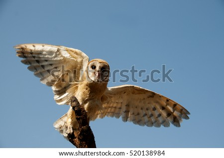 common barn owl ( Tyto albahead ), India.