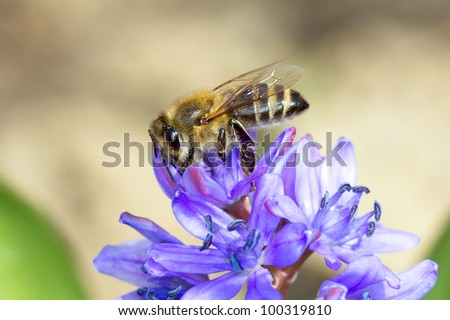common bee collecting nectar and pollen from flowers  / Apis mellifera - stock photo
