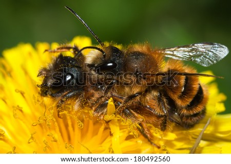 common bee collects pollen from flowers in a meadow