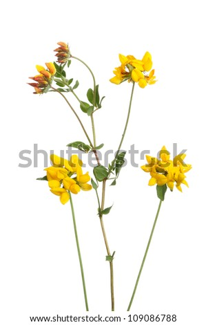 Common Bird's foot Trefoil, Lotus corniculatus ( Fabaceae ) wild flowers and foliage isolated against white - stock photo
