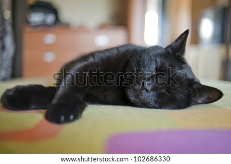 Common black cat in house - stock photo